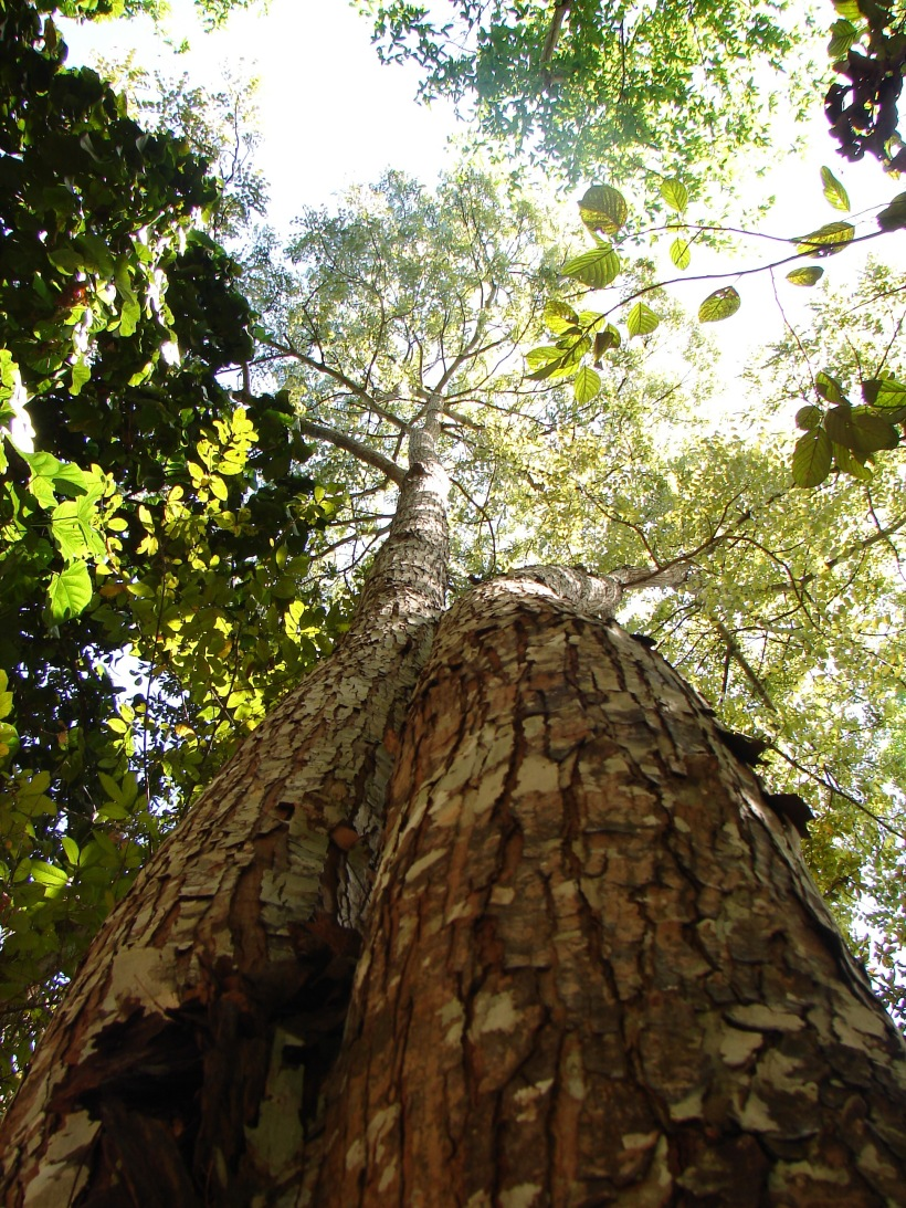 Arvore_Mogno_Amazonia